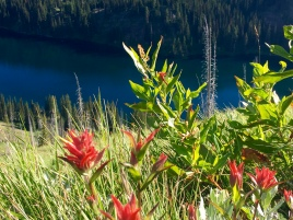 Indian Paintbrush, or Castiellja