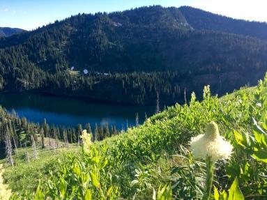 Late blooming Bear Grass, Chilcoot Pass