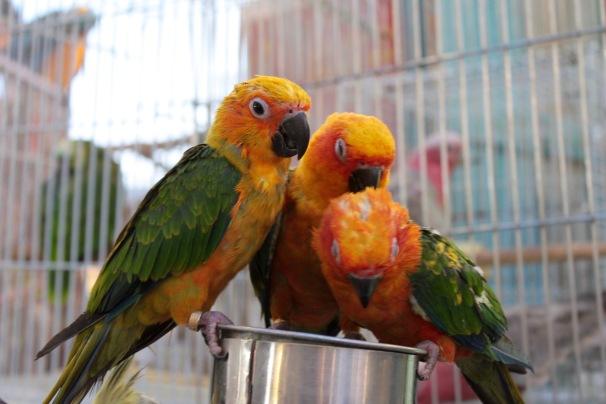 Trio of parakeets