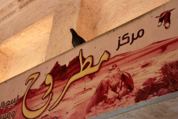 Pigeon roosting over a sign picturing a falcon